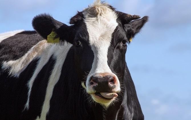 ceny skupu bydła