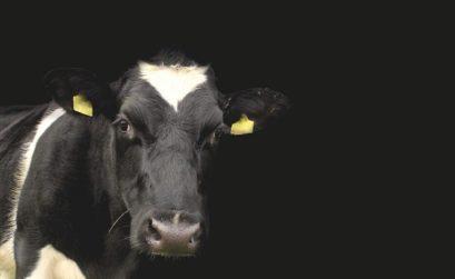 pryszczyca bydła